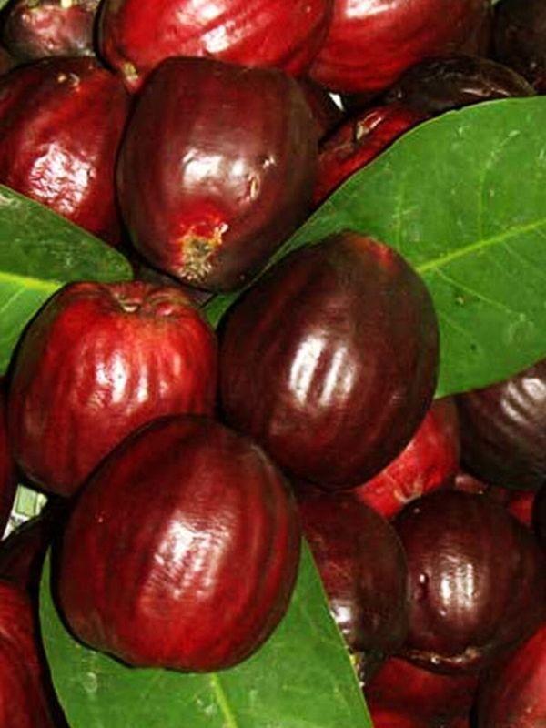Thai Rose Apple Syzygium malaccense 3 Seeds ThailandMrk #ThailandMrk