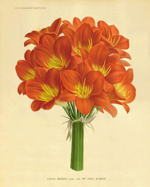 Clivia Vintage fiore arte stampa antico muro decoro fiore decorazione botanica stampe giardino arte vittoriana stampa arredamento francese Cottage arte 8 x 10