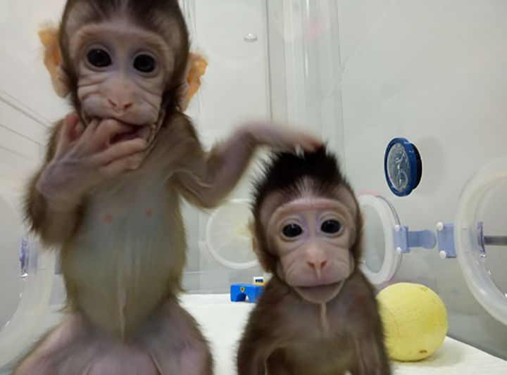 It is the first time that scientists have successfully cloned primates using a method known as somatic cell nuclear transfer