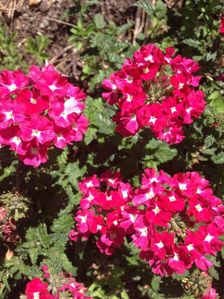 VERBENA pink frilled