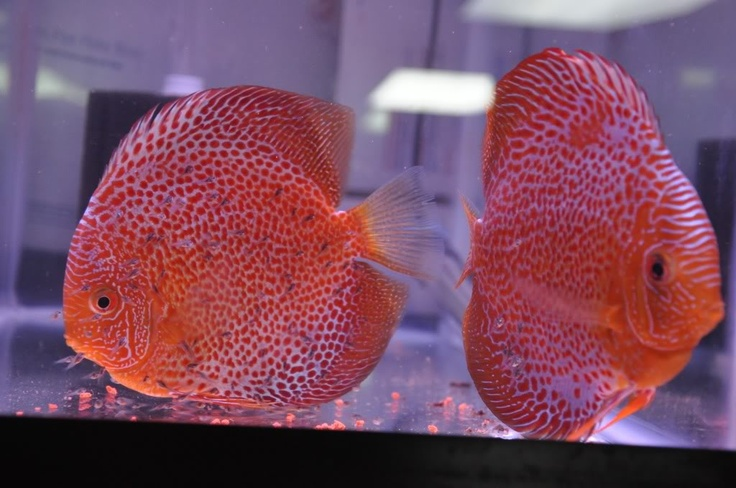 1773 best images about poppie on pinterest painted for Freshwater exotic fish