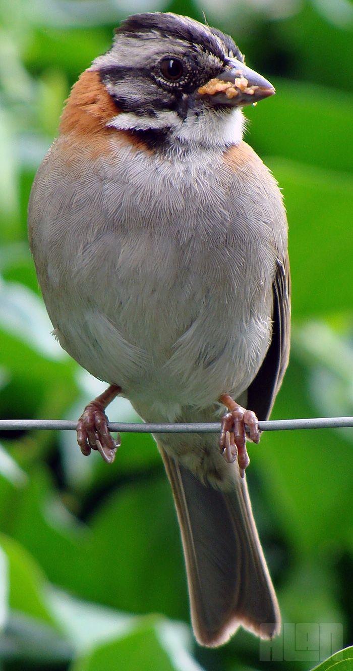 Rufous-collared Sparrow, Zonotrichia capensis (foto: Alan Corrêa)