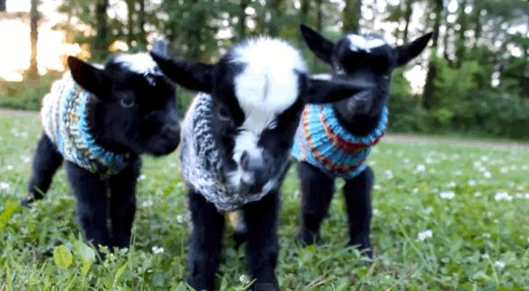The Denmans Critters farm is the place to BE on chilly mornings.   These Baby Goats In Tiny Sweaters Will Make Your Day