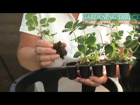How to plant a Strawberry Hanging Basket.