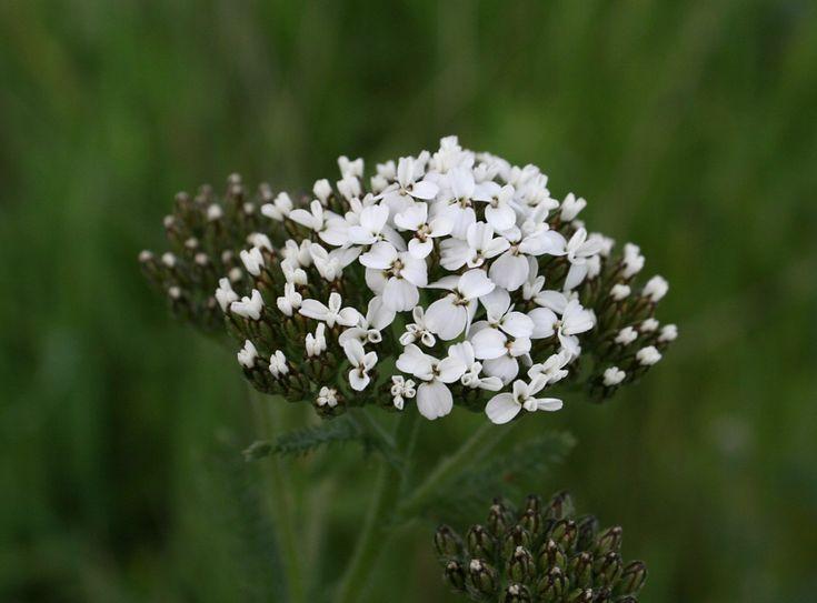 Achillea millefolium - Common Yarrow. Very pretty white flowers that bees love.