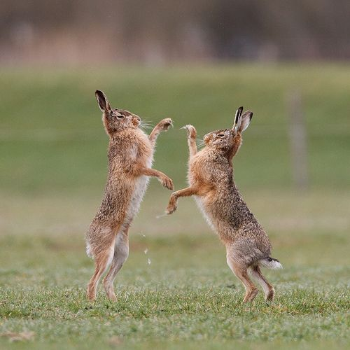Offcourse I enjoy the winter, espescially when the snow is falling down. But nothing is more enjoyable for a photographer than springtime. In the beginning of spring a group of male hare gather around one female. From time to time she chases them off Koli http://koli.com.tr