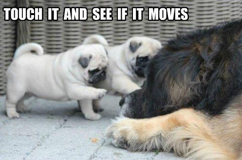 Pug Meme Archives Page 13 Of 18 Pug Meme Funny Cute Pugs