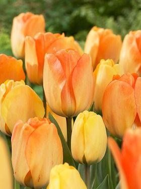 Chameleon tulipa Daydream - Darwin tulip - Opens yellow, matures to apricot-orange. 32 tulip bulbs