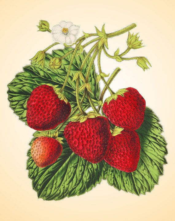 Vintage strawberry art print Antique prints Wall art Garden vintage decor Fruit…