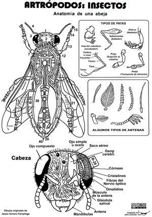 Recorta les anatomía INVERTEBRADOS