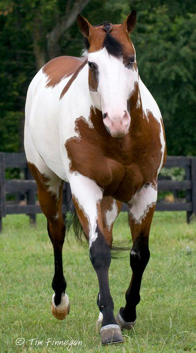 .American Paint Horse western quarter paint horse paint pinto horse Indian pony solid tovero overo frame sabino tobiano rabicano