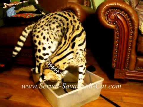 African Serval Cat fishing, F1 savannah kittens for sale sire Serval Cat - (More info on: https://1-W-W.COM/fishing/african-serval-cat-fishing-f1-savannah-kittens-for-sale-sire-serval-cat/)