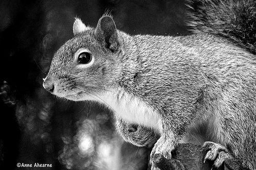 Eastern Gray Squirrel | Anne Ahearne | Flickr