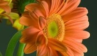How to Grow Gerbera Daisies Outdoors(how to plant seeds you harvested)