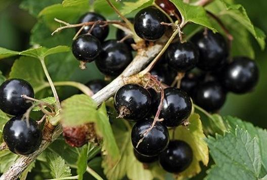 Svart vinbärsbuske