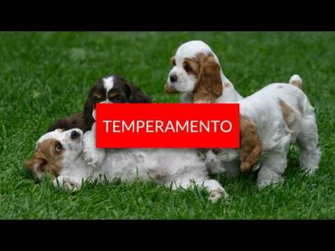 Raza de perros Cocker Spaniel - YouTube