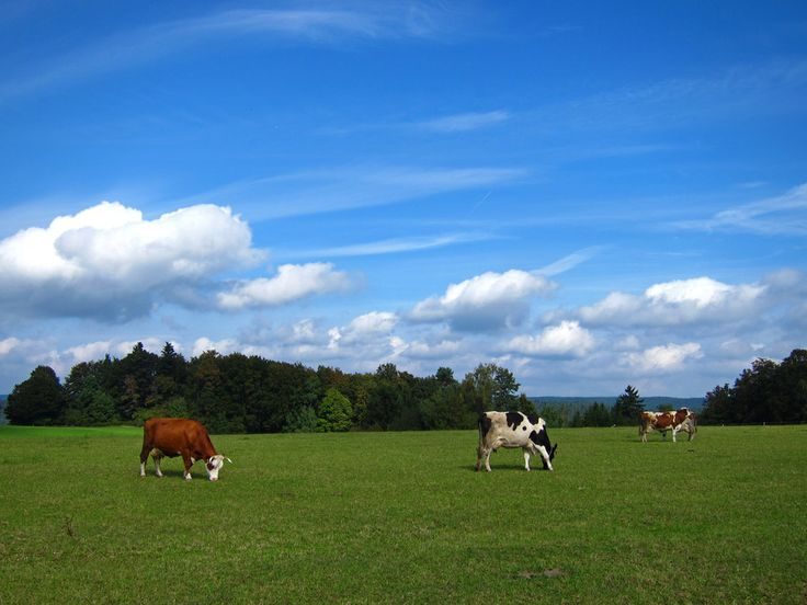 Cows of the Black Forest by Lecia Nel on 500px