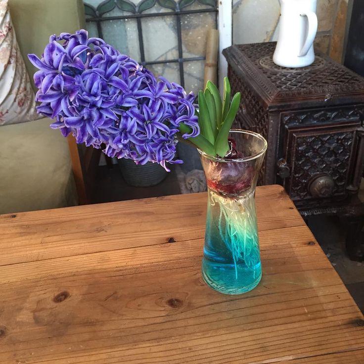 """좋아요 5개, 댓글 3개 - Instagram의 Satomi Simohama(@sakutalyo)님: """"満開!  #花のある暮らし #春 #spring #香り #ヒヤシンス #球根 #flowers"""""""