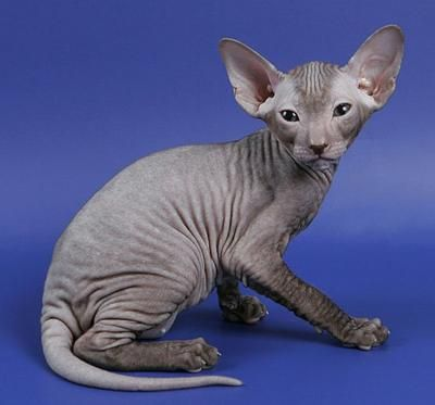 I would like to get this kitty, if only my peeps weren't allergic.: Cool Cat, Animal 3, Hairless Cat, Grey Sphynx, Sphynx Cat, Peterbald Animal, Sphinx Cat, Cat Breeds, Peterbald Cat