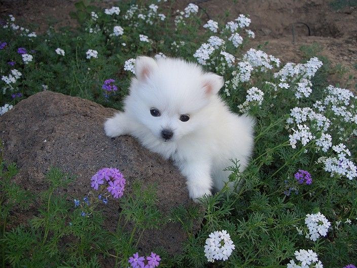 Wants a puppy miniature Eskimo Spitz.