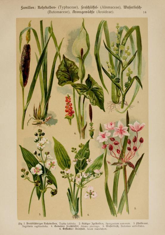 Hoffmann-Dennert, Botanischer Bilderatlas 1911