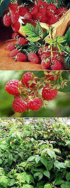 Секреты высокой урожайности малины, выращивание малиный - Чудо-огород