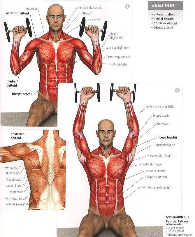 SHOULDERS: overhead press (ant/medial/post deltoid, triceps brachii ...