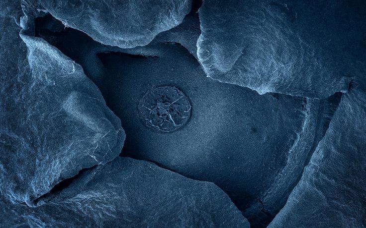 Blueberry via Scanning Electron Microscope (photo by Caren Alpert)