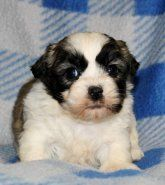 Shichon | Puppies for Sale
