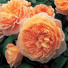 Crown Princess Margareta - David Austin Roses.  Described as 'Apricot orange' in colour. Free flowering from June to September.
