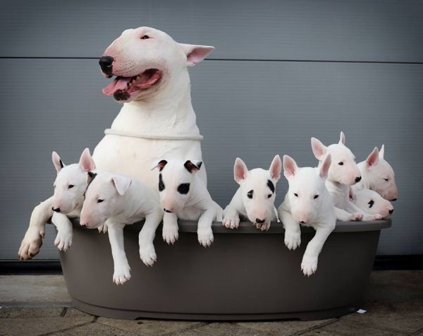 Mama bull terrier & her eight pups