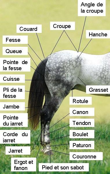 Mangalarga Marchador Conformação Detrás Anatomía - Morphologie du cheval — Wikipédia