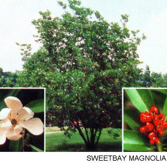 Sweet Bay Magnolia  bayweekly.com