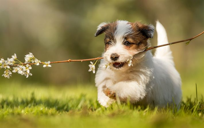 Download wallpapers Jack Russell Terrier Dog, pets, dogs, puppy, running dog, cute animals, Jack Russell Terrier