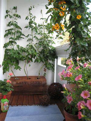 Masser af tomatplanter på altanen.  Bemærk hvordan selvvandingskassen er dækket af med et cover af sækkelærred <3