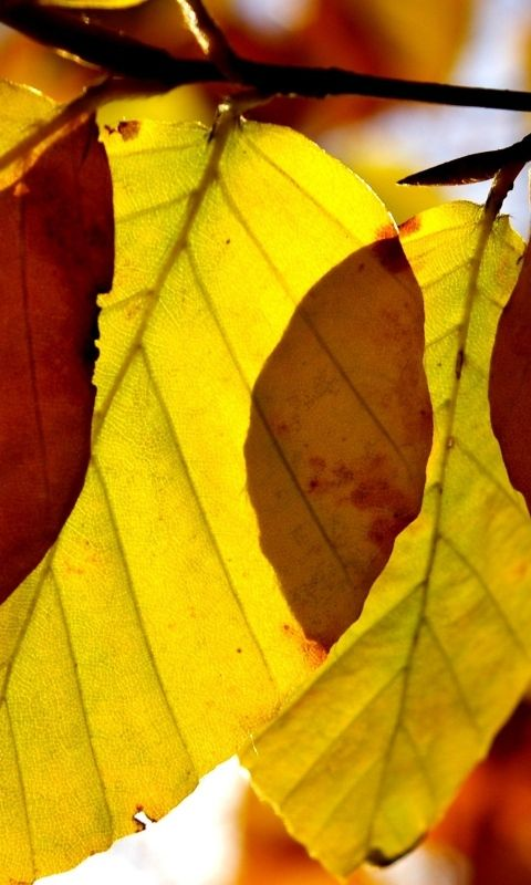 Download Wallpaper 480x800 Leaves, Shape, Autumn, Branch HTC, Samsung Galaxy S2/2, Ace 480x800 HD Background