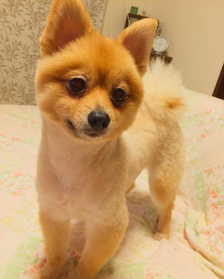 いいね!24件、コメント1件 ― かづみ(Kazumi)さん(@jazz_singer_kazumi)のInstagramアカウント: 「コロン🐶 ぬいぐるみみたい。 末っ子で一番元気でした☆ #シバラニアン #ポメラニアン #やんちゃ #pappy #子犬 #仔犬 #dog #犬 #ぬいぐるみ #すまし顔」