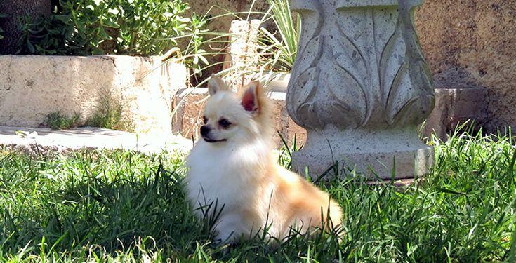 HERMANOS GARCIA GIL.- Venta de Chihuahuas, Venta de cachorros Chihuahueños