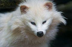 Cute white raccoon dog (Tambako the Jaguar) Tags: portrait dog white beautiful face zoo switzerland nikon canine lausanne tanuki raccoon d4 canid servion