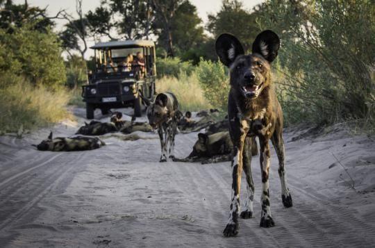 Meeting wilddogs close to Abu Camp (Okavango Delta, Botswana). Wanna visit that fantastic place? Just let us know: info@gondwanatoursandsafaris.com