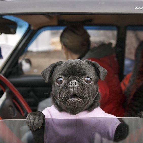 """I need a longer vacation.""  Barking mad @   #PugPower #PugLife #VotePug #cuteness"