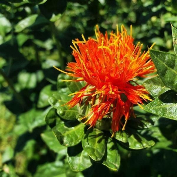 The benefits you are getting by using CLA Safflower Oil on a daily basis.