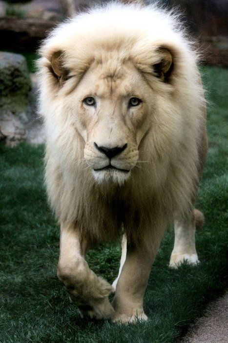 Ultra rare White Lion - so beautiful. And doesn't he look like he's a very wise lion? So much intelligence in that face.