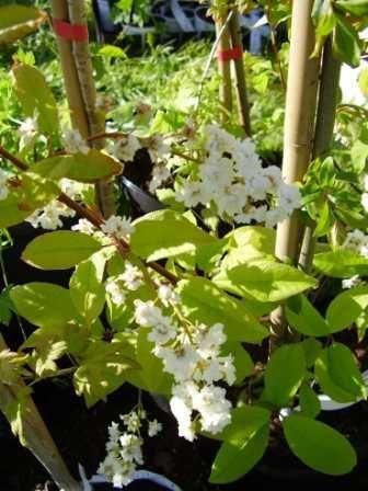 Hägg, Prunus padus 'Venla'. Dubbla blommor = längre blomningstid  Mycket härdig  Höjd: 5-12 m  Zon V