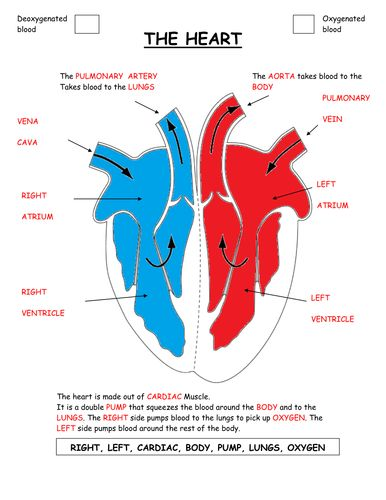 Parts of the heart diagram worksheet. | Teaching Resources ...