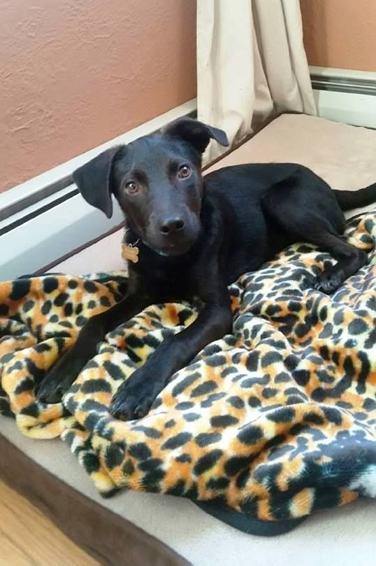 Phoenix is an adorable 5 month old female Feist (small terrier breed). This type of dog generally weighs about 30lbs or less and stands 10-18 inches tall. She loves learning new things and she loves to be very active. She is a quick learner and already knows how to come, sit, lay, stay (for a short period), and play fetch. She is crate trained but she prefers to be out and about whenever possible playing or snuggling up with her owner.