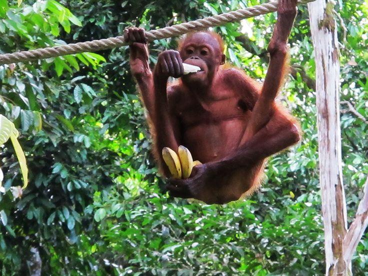 Borneo - Sepilok