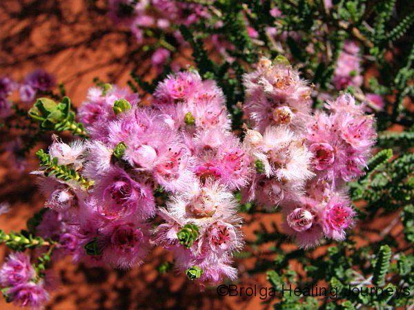 1870 best images about australian native plants on pinterest