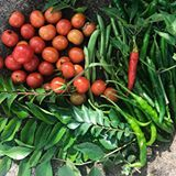 Sunday morning garden therapy...seeking out cherry tomatoes hidden deep inside the bushes, rain washed curry leaves spraying water all over me as I pluck them, two varieties of chillies- shiny, plump and eye *poppingly* green, a few green beans that had to be plucked before they are all mature. Grateful and happy! . . . . . . #instagardeners_feature @betterhomesandgardensindia @betterhomesandgardens #bhgcolor #bhghome #bhggarden #gardenlife #gardeninglove #gardeningisfun #gardeninggoals…