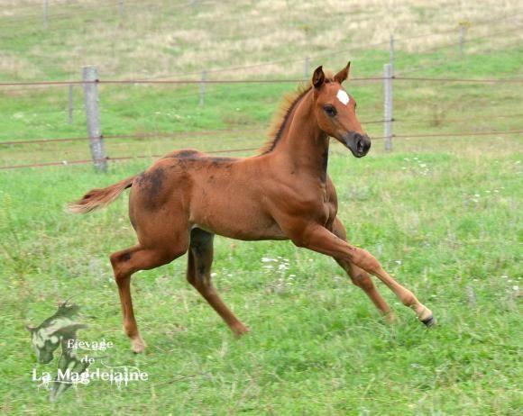 Paint horse liver chesnut origine cutting à vendre